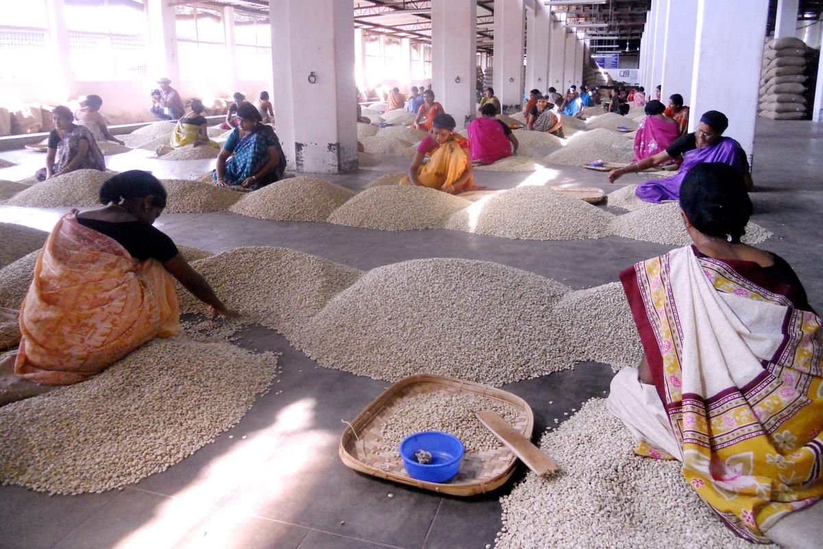 India 2012 selezione manuale caffè crudo