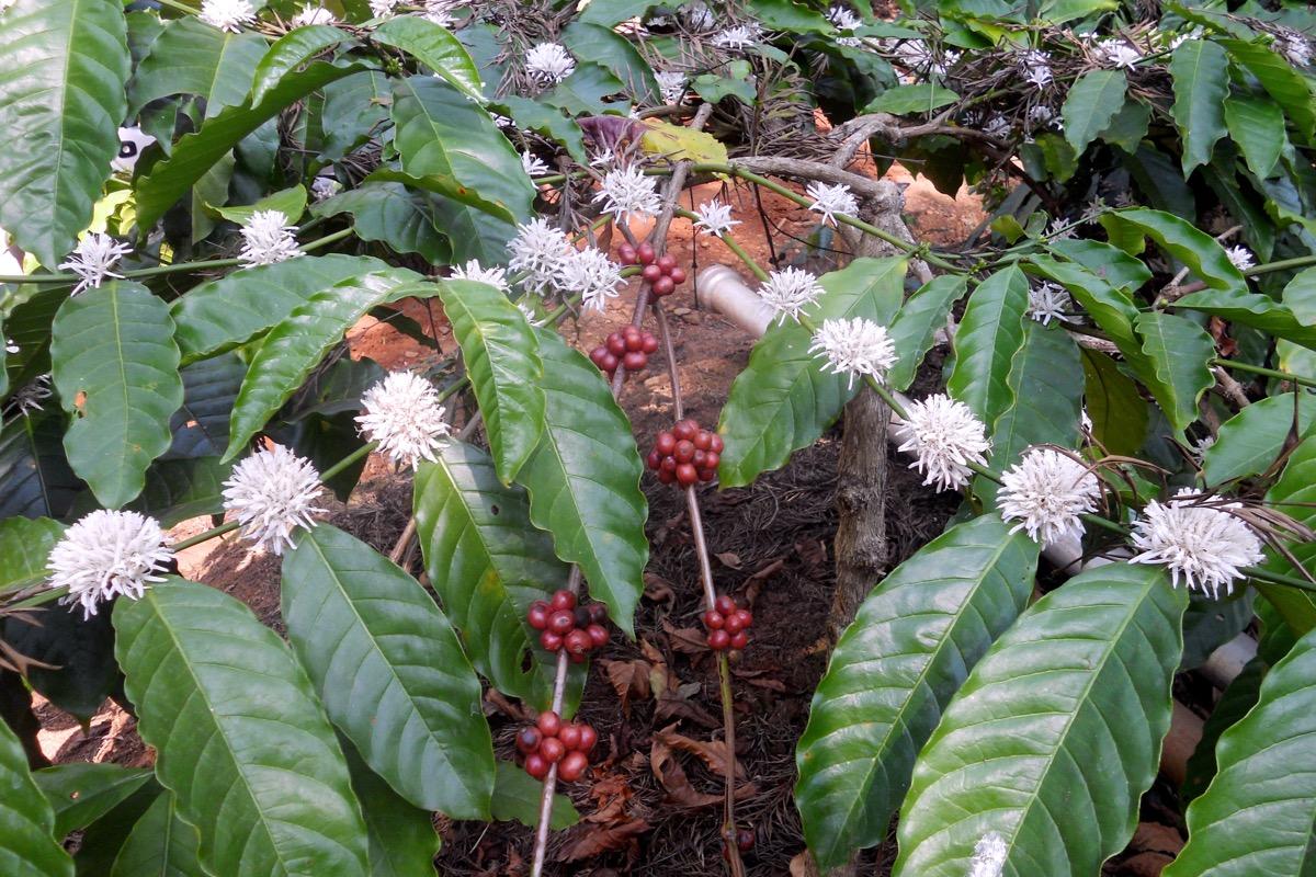 India 2012Canephora flowers and cherries
