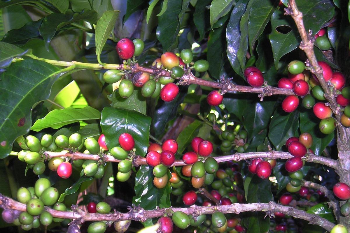 Repubblica Dominicana ciliegie