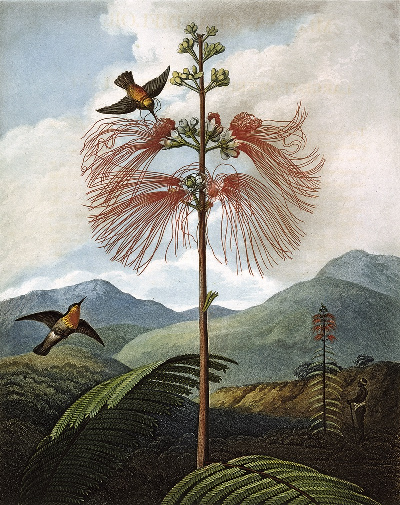Large Flowering Sensitive Plant, da Robert John Thornton, The Temple of Flora, 1799, Philip Reinagle © Natural History Museum, London / Science Photo Library