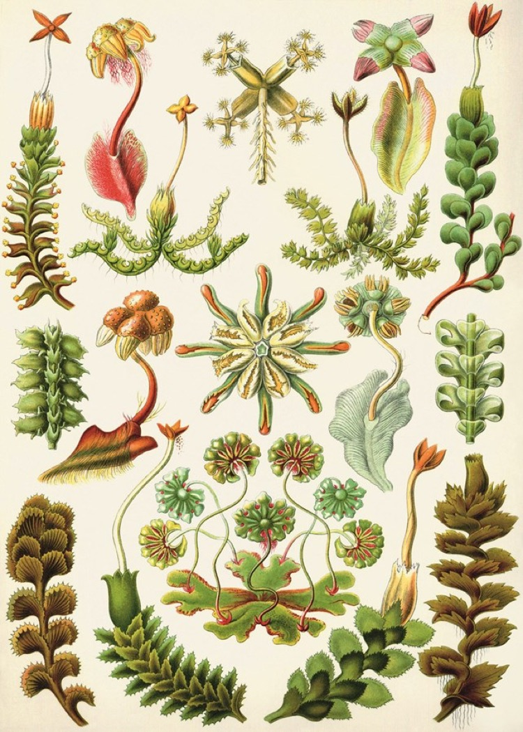 Liverworts (Hepaticae), da Kunstformen der Natur, 1899, Ernst Haeckel © Fine Art / Alamy Stock Photo