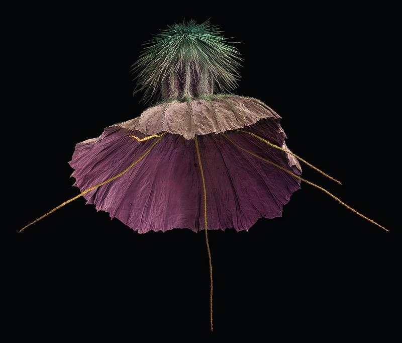 Scabiosa crenata. Frutto – diametro 7.2mm, 2013, Rob Kesseler © Collection of Rob Kesseler