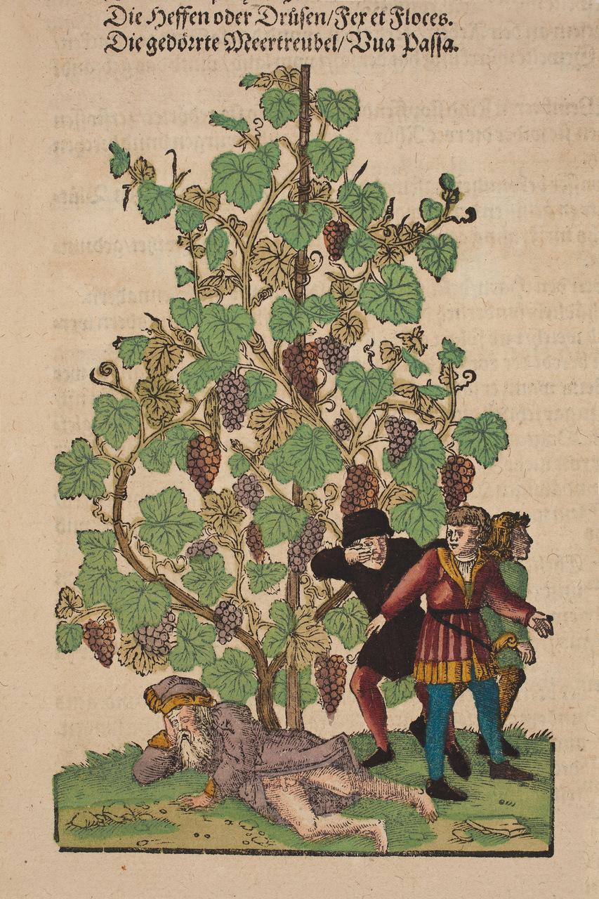 "Viti. Tavola tratta da  ""Kreutterbuch"", di Hieronymus Bock (1498–1554)"