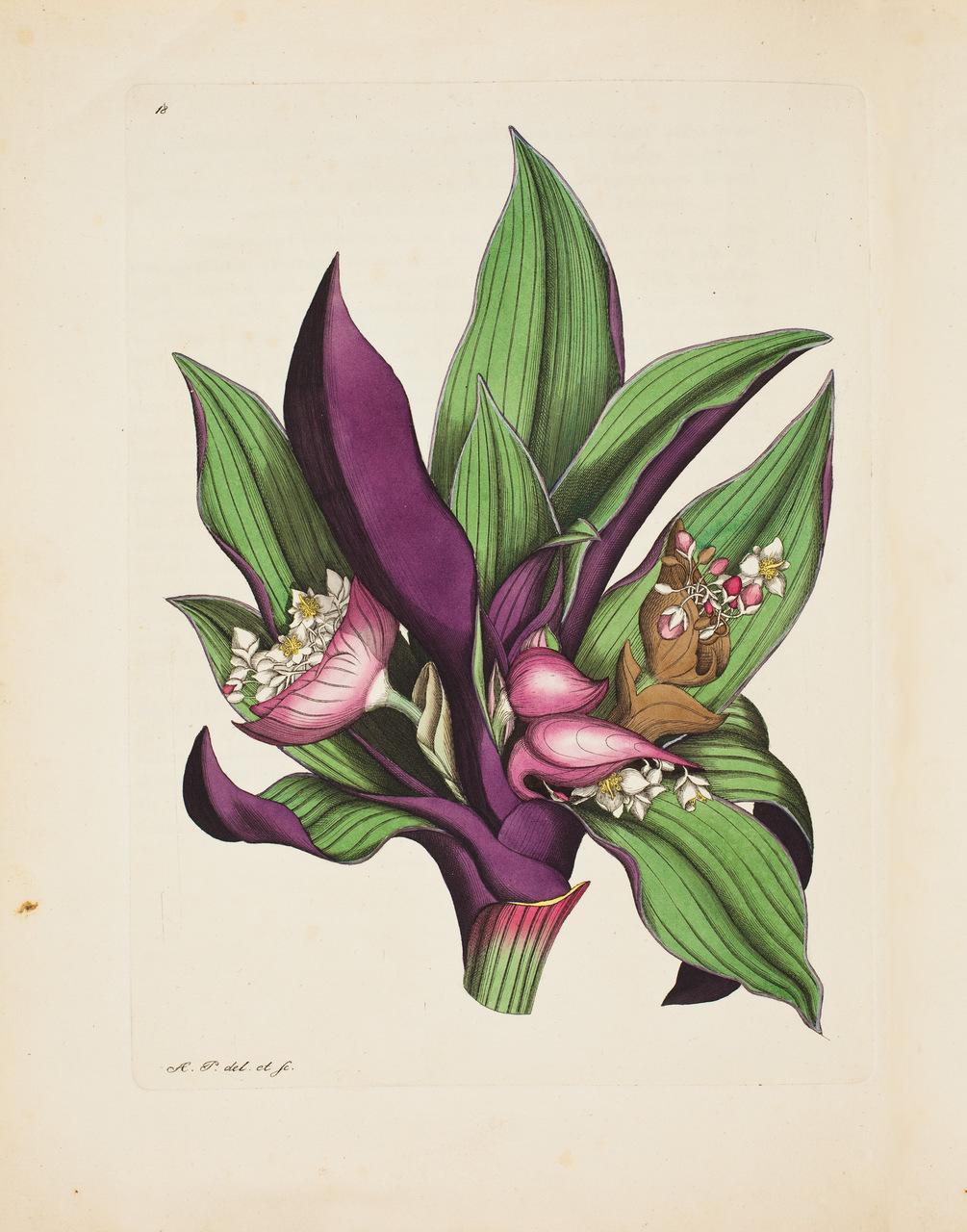 """Tradescantia. Tavola tratta da """"Magasin för Blomster-Älskare och Idkare av Trägårds-Skötsel"""", di August Pfeiffer (1777-1842)"""