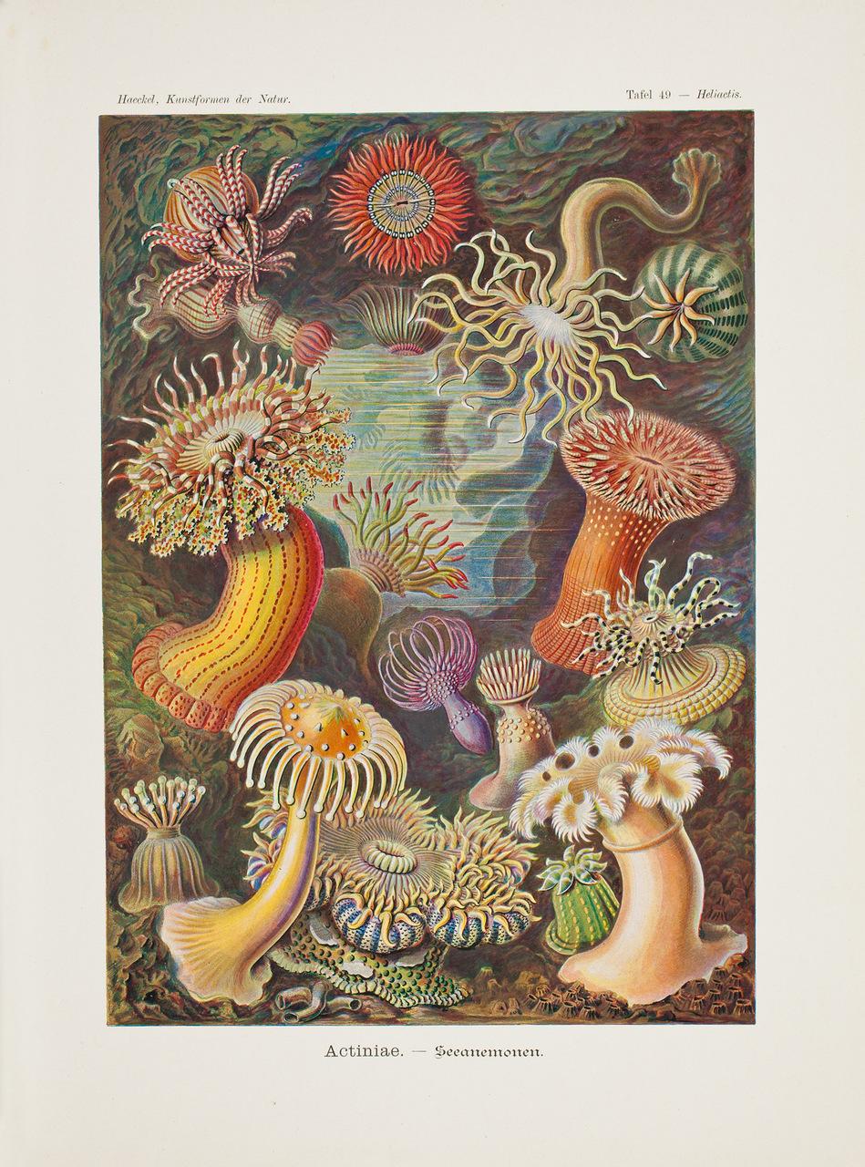 """Litografia a colori degli anemoni di mare, tratta da """"Kunstformen der Natur"""", di Ernst Haeckel (1834-1919)"""