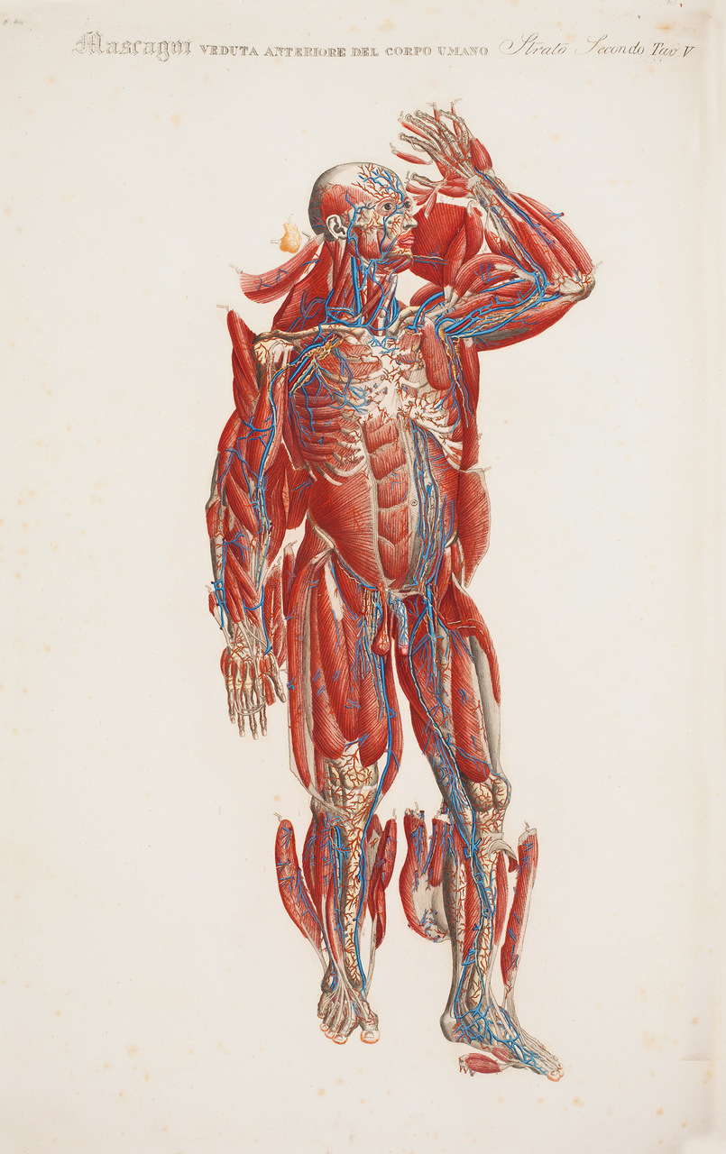 """""""Veduta anteriore del corpo umano"""", tavola tratta da """"Anatomia Universale"""", di Paolo Mascagni (1752-1815), illustrazione di  Antonio Serrantoni, originariamente stampata su un volume di 70x100cm"""