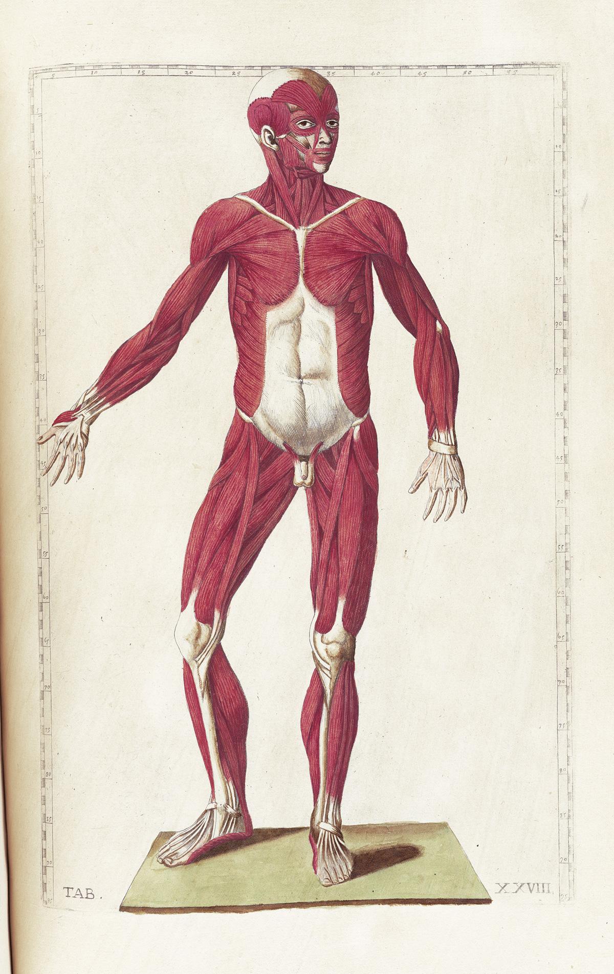 anatomia 12