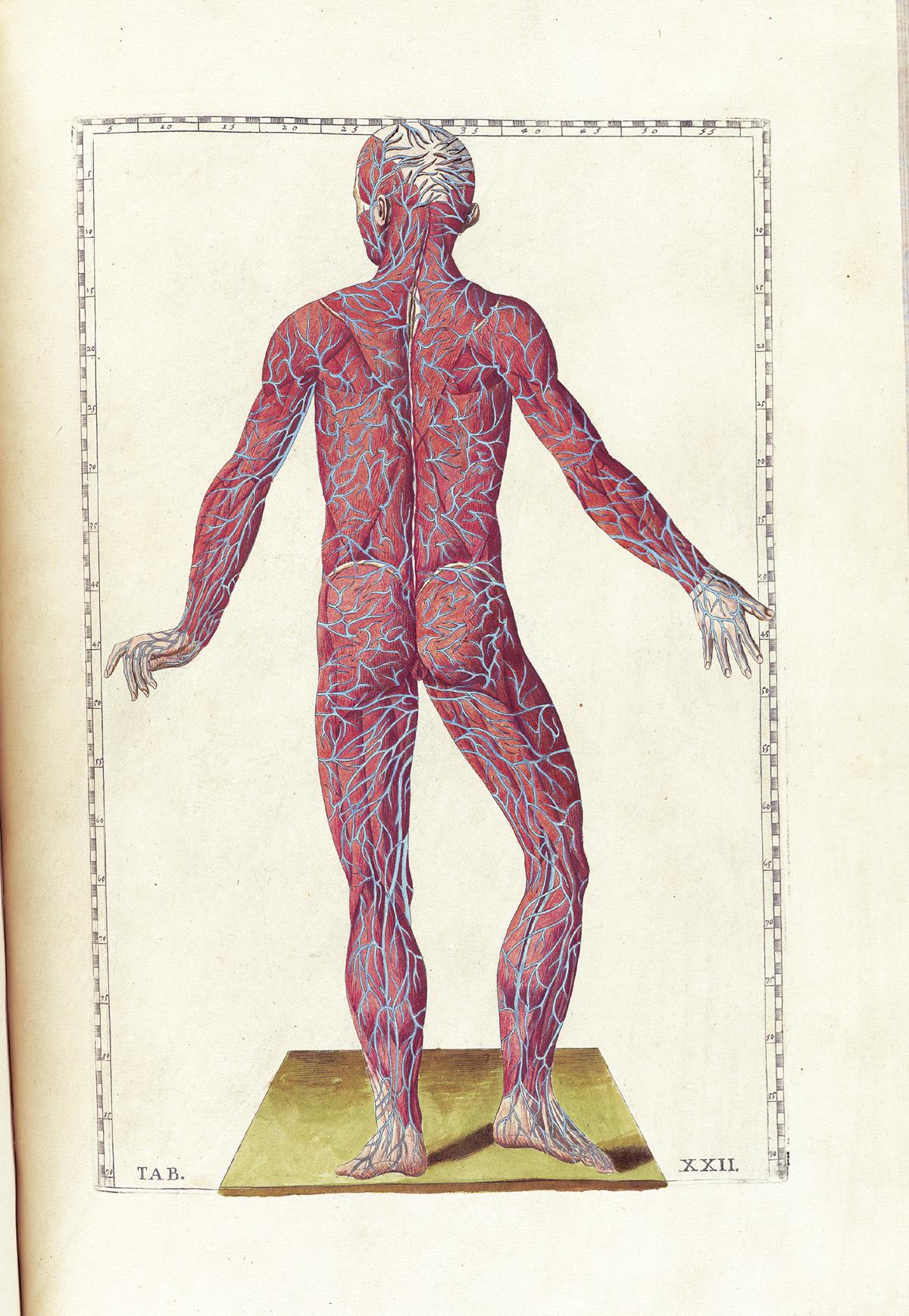 anatomia 13