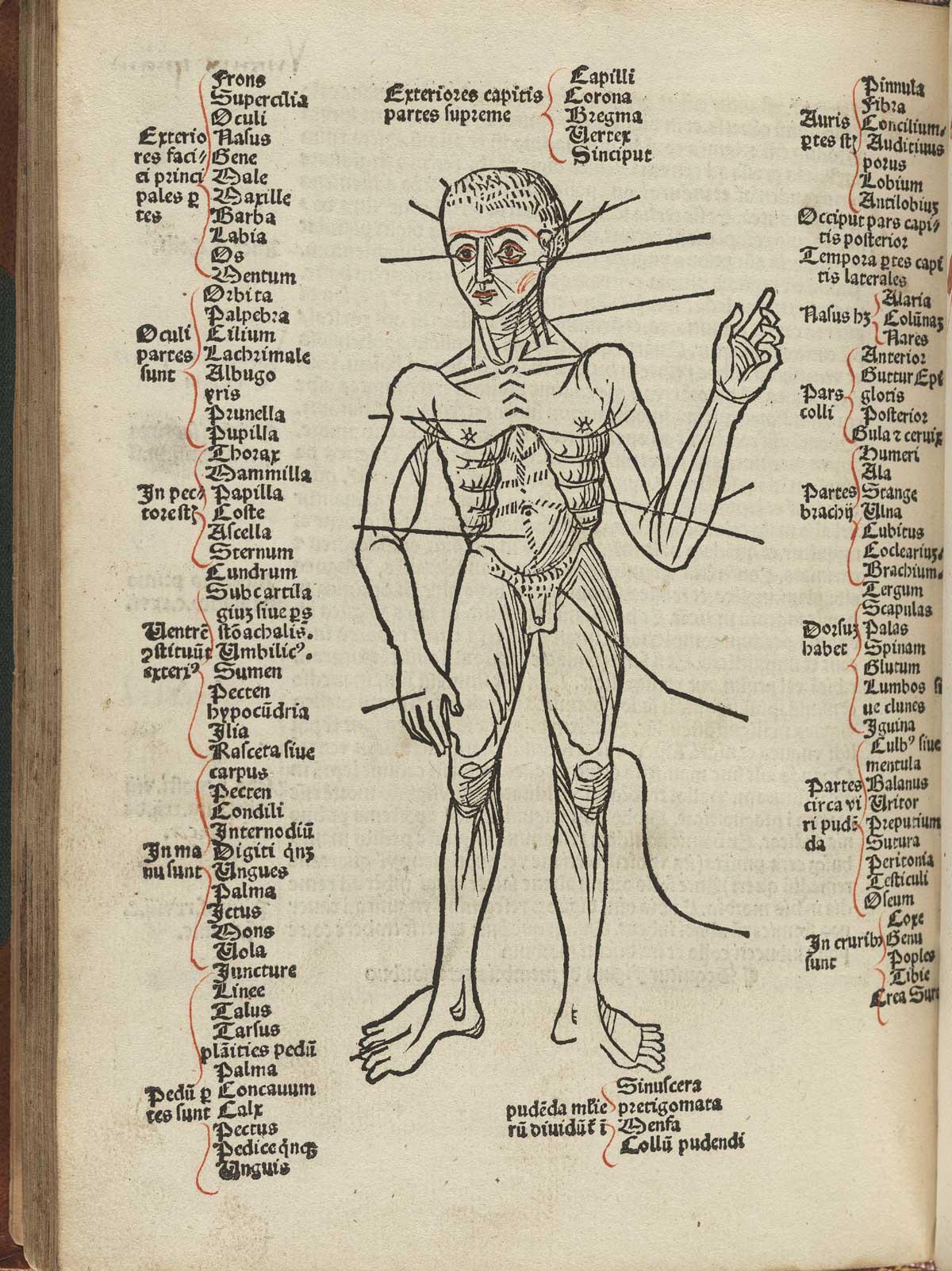 anatomia 23