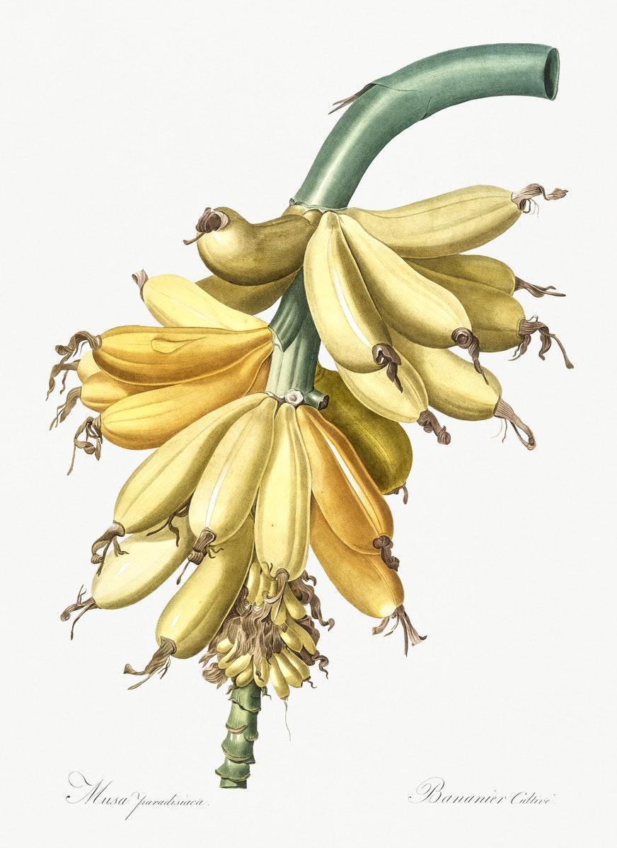 Tesori d'archivio: le illustrazioni botaniche di Pierre-Joseph Redouté da scaricare gratuitamente