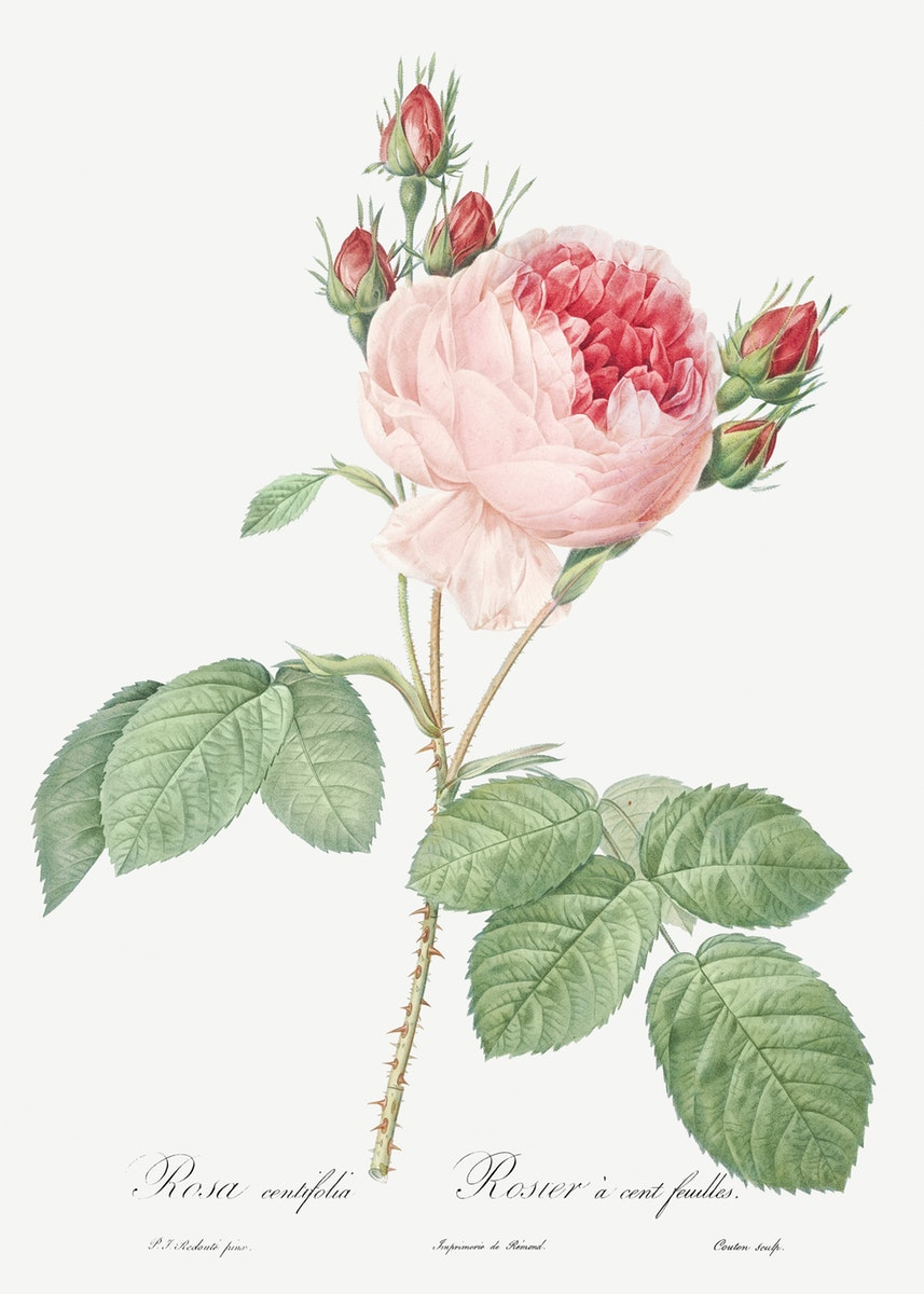 Redoute Les Roses 1