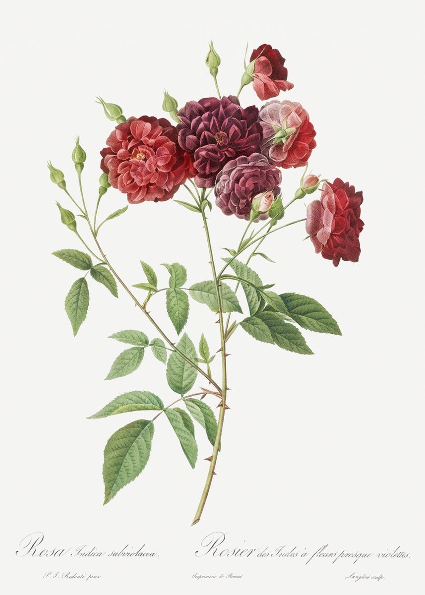 Redoute Les Roses 3