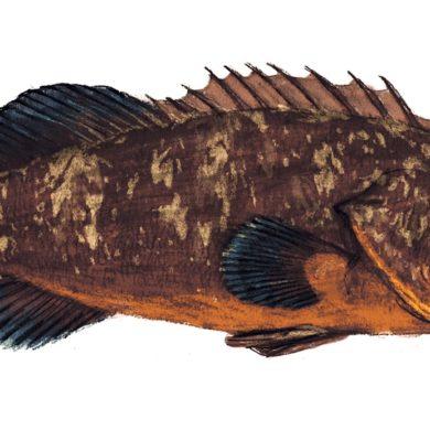 francesco del re pesci del mediterraneo 5