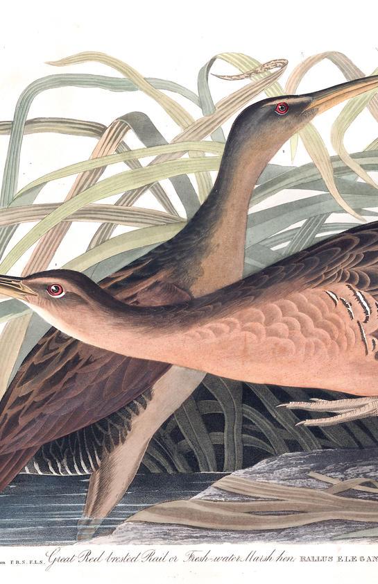 birds of america 1