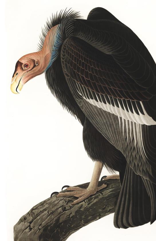 birds of america 9