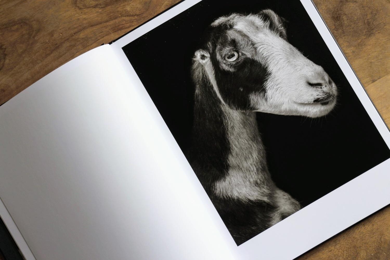capre pecore 3