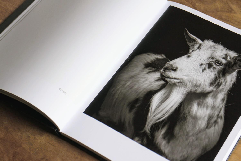 capre pecore 4
