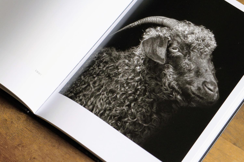 capre pecore 8