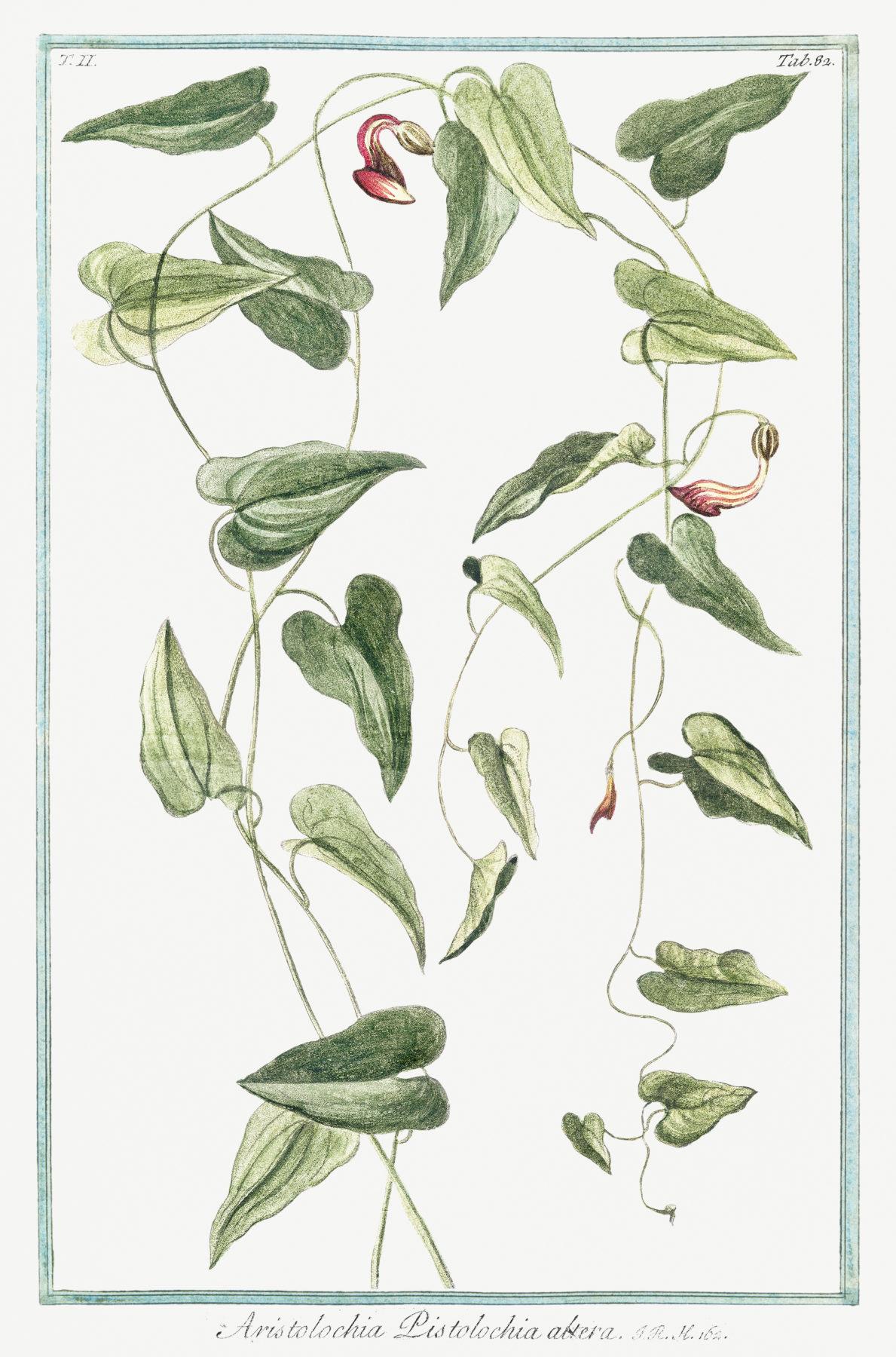 Hortus Romanus Juxta Systema Tournefortianum 4