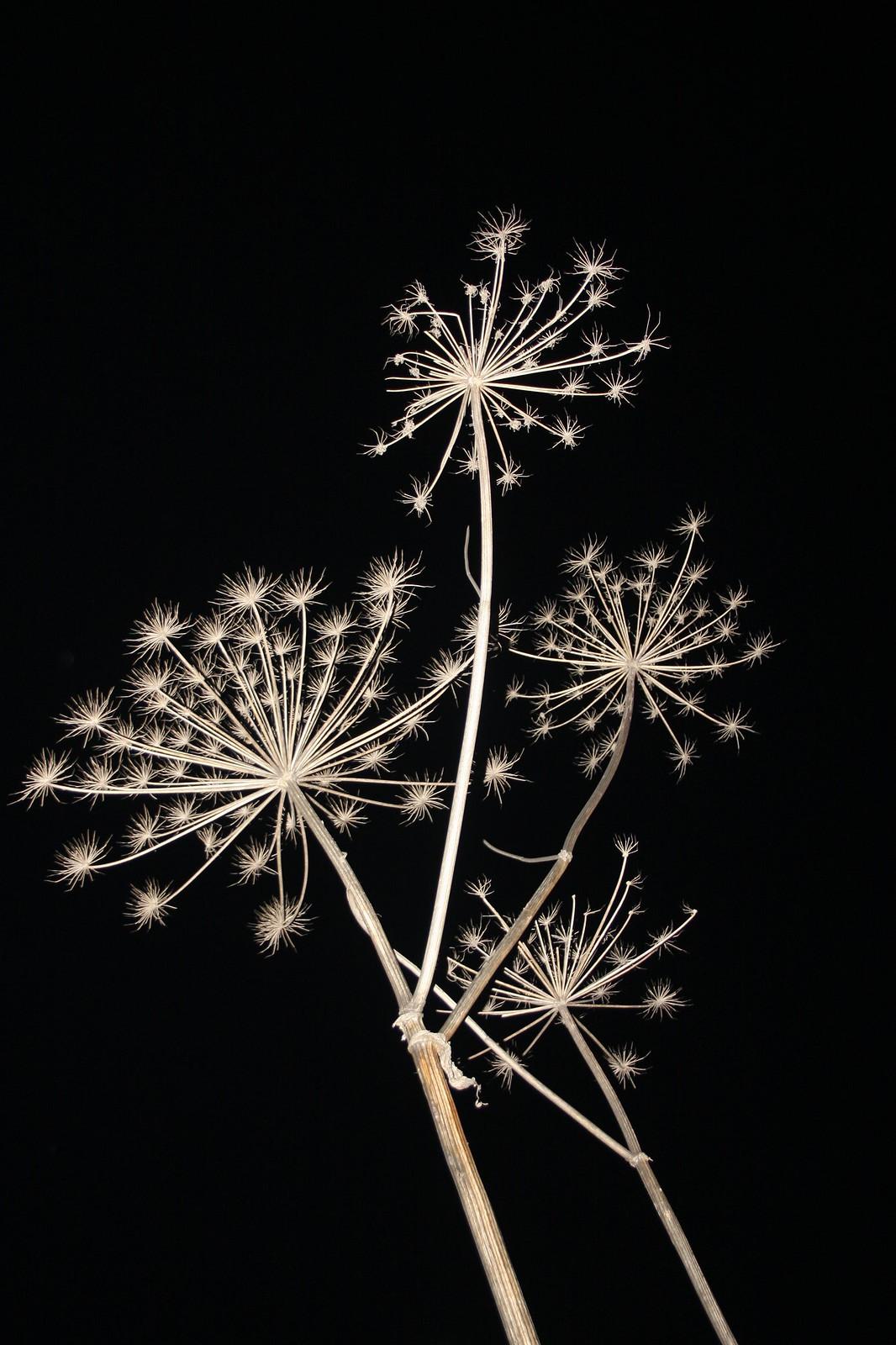 Nazar Furyk fiori