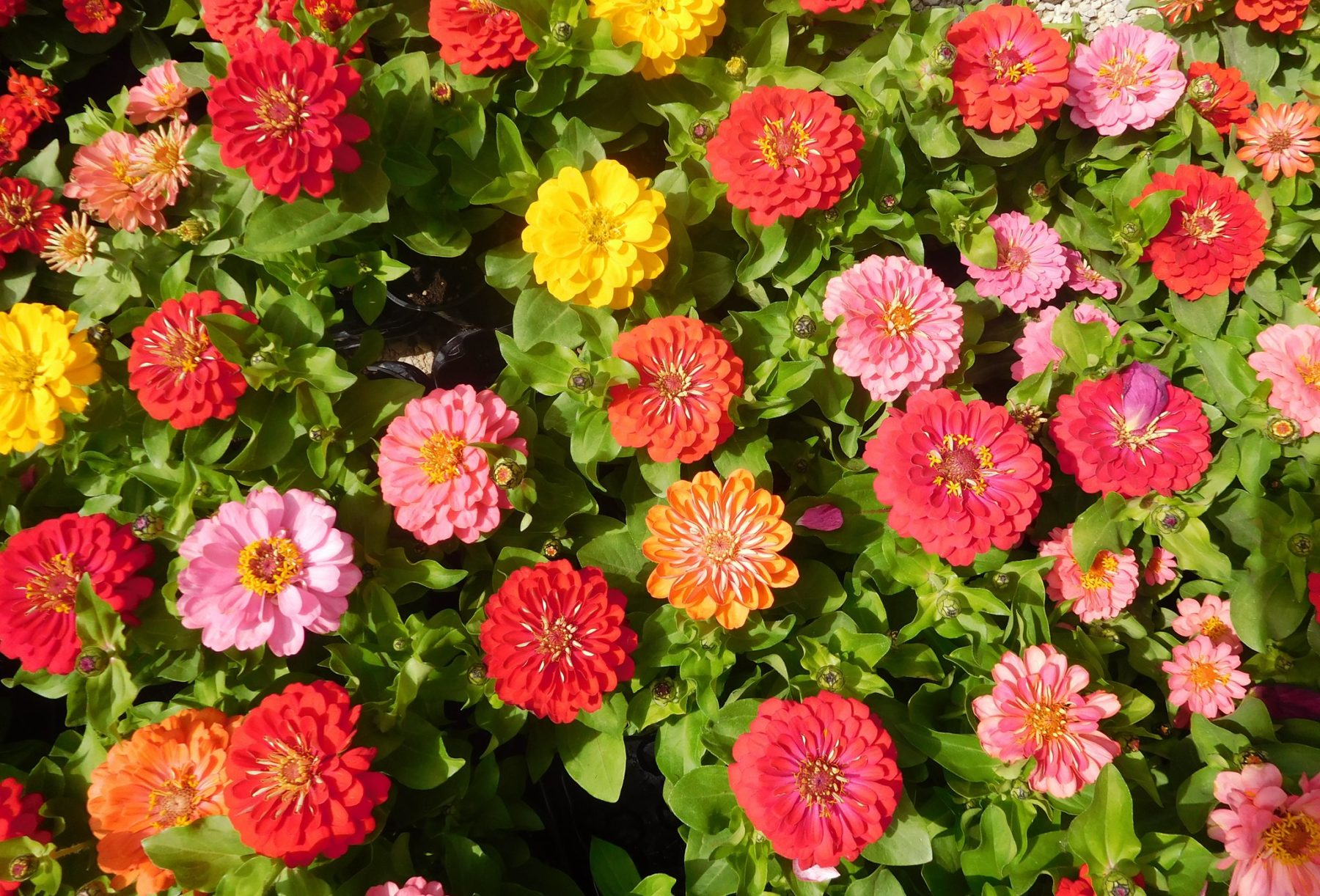 ZAN fiori