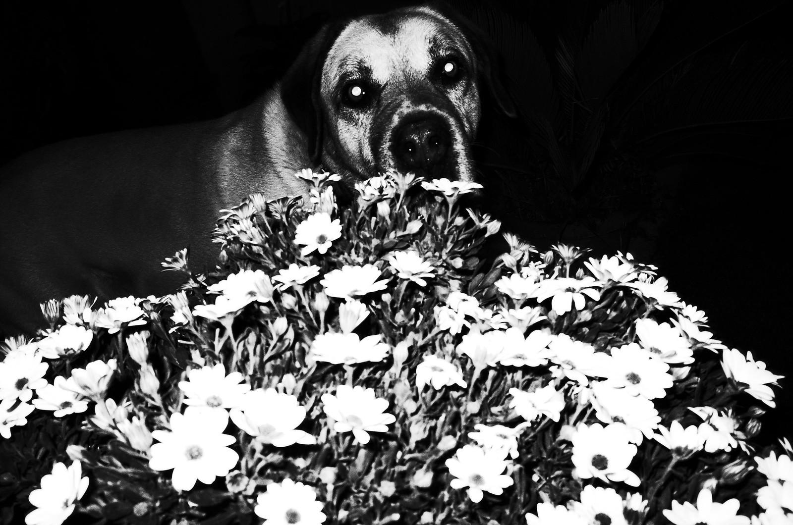 alessandro cipriani fiori